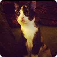 Calico Cat for adoption in St. Cloud, Florida - Layla