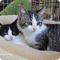 Adopt A Pet :: Mellie - Merrifield, VA