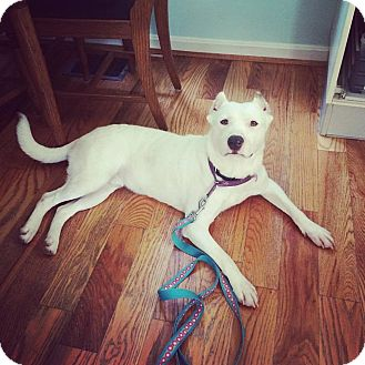 Border Collie/German Shepherd Dog Mix Dog for adoption in Loveland, Ohio - Sammy