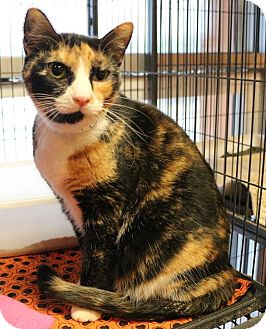 Domestic Shorthair Cat for adoption in New Orleans, Louisiana - Cali
