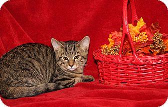 Domestic Shorthair Cat for adoption in Marietta, Ohio - Tigger (Neutered)