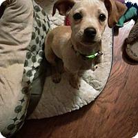 Adopt A Pet :: Lil Bud - Sacramento, CA