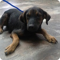 Adopt A Pet :: Raj meet me 11/11 - Manchester, CT