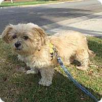 Lhasa Apso Mix Dog for adoption in Fullerton, California - Roxy