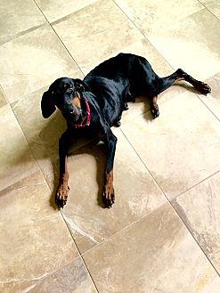 Doberman Pinscher Dog for adoption in Fort Worth, Texas - Zyla