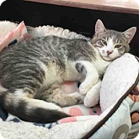 Adopt A Pet :: BEANS - Canfield, OH