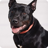 Adopt A Pet :: Stallone - Portland, OR
