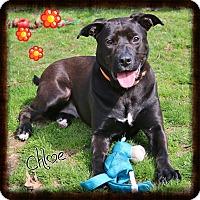 Labrador Retriever/Pit Bull Terrier Mix Dog for adoption in Shippenville, Pennsylvania - Chloe
