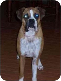 Boxer Dog for adoption in Albany, Georgia - Goober