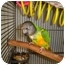 Photo 2 - Poicephalus (including Senegal and Meyer's) for adoption in Redlands, California - Rudy