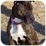 Photo 1 - American Staffordshire Terrier/Shar Pei Mix Dog for adoption in Pascoag, Rhode Island - Zoe