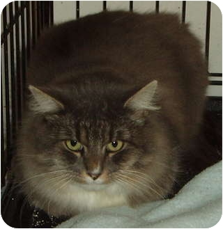 Domestic Longhair Cat for adoption in Westfield, Massachusetts - Mylo
