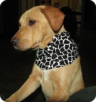 Labrador Retriever Mix Puppy for adoption in Somers, Connecticut - Hope - ADOPTION PENDING