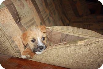 Australian Shepherd/Wheaten Terrier Mix Puppy for adoption in Studio City, California - Hansel
