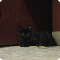 Adopt A Pet :: Long Hair Black - Chesterfield, VA