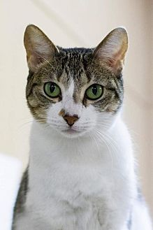 Domestic Shorthair Cat for adoption in Baton Rouge, Louisiana - Liberty