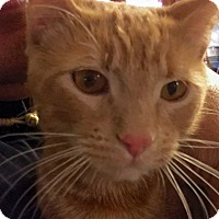 Adopt A Pet :: Thomas O'Malley - Edmond, OK