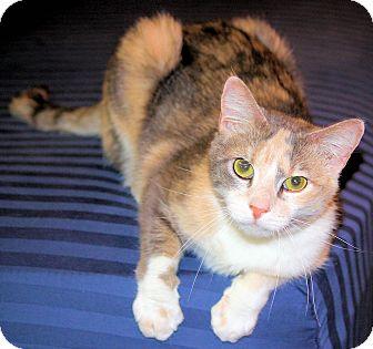 Domestic Shorthair Cat for adoption in Morganton, North Carolina - Bella