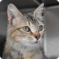 Domestic Mediumhair Cat for adoption in Alamogordo, New Mexico - September