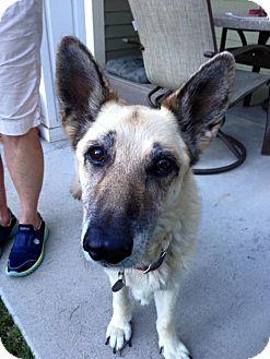 German Shepherd Dog Dog for adoption in Denver, Colorado - Inga