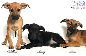 Belgian Malinois/Terrier (Unknown Type, Medium) Mix Puppy for adoption in Laplace, Louisiana - Willow, Lucy, Lisa