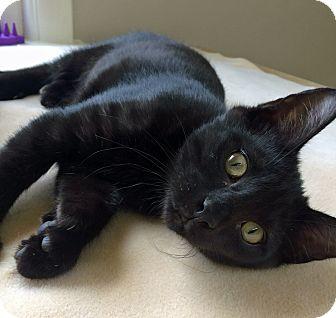 Domestic Shorthair Kitten for adoption in Fairfax, Virginia - Eric