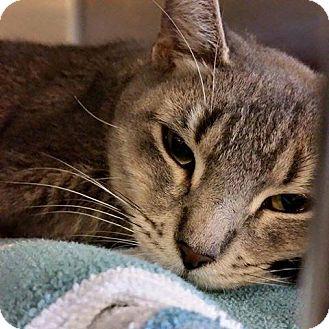 Domestic Shorthair Cat for adoption in Sewaren, New Jersey - Mama Girl