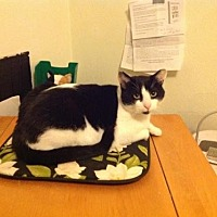 Domestic Shorthair Cat for adoption in Hampton, Virginia - Zorro (Courtesy Listing)