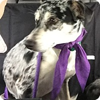 Adopt A Pet :: Macklin - Springfield, MO
