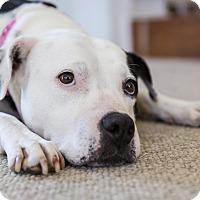 Adopt A Pet :: OLIVE - Nashville, TN