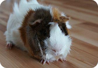 Guinea Pig for adoption in Brooklyn Park, Minnesota - Oscar