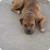 Adopt A Pet :: Bruno - Sherman Oaks, CA