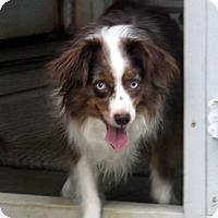 Adopt A Pet :: Harper mini - Knoxville, TN