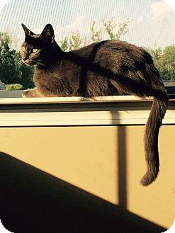 Russian Blue Cat for adoption in Charlotte, North Carolina - Grey