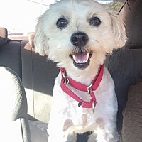 Bichon Frise Mix Dog for adoption in Cedar Creek, Texas - Charlie