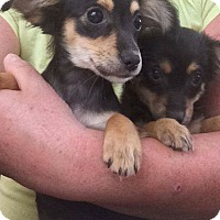 Adopt A Pet :: Sophie choice puppies - Pompton Lakes, NJ