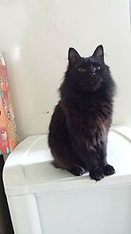 Domestic Mediumhair Cat for adoption in Clarkson, Kentucky - Gobo