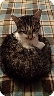 Domestic Shorthair Cat for adoption in Carlisle, Pennsylvania - SageCP