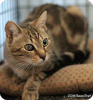 Domestic Shorthair Cat for adoption in Bedford, Virginia - Bert