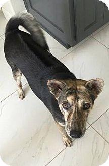 Shepherd (Unknown Type) Mix Dog for adoption in Austin, Texas - Stripes