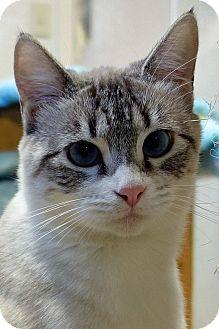 Siamese Cat for adoption in Palo Cedro, California - Pearl