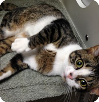 Domestic Shorthair Cat for adoption in Putnam Hall, Florida - CiCi