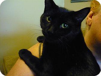 Domestic Shorthair Cat for adoption in Lindsay, Ontario - Jill