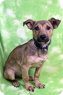 Shepherd (Unknown Type) Mix Puppy for adoption in Westminster, Colorado - CHARLIE
