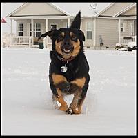 German Shepherd Dog/Labrador Retriever Mix Dog for adoption in Carlisle, Pennsylvania - Shelby