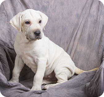 Shar Pei/Labrador Retriever Mix Puppy for adoption in Anna, Illinois - SHELDON