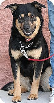 Rottweiler Mix Dog for adoption in Palmdale, California - Pachino