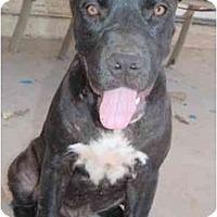 Adopt A Pet :: Oso - Gilbert, AZ
