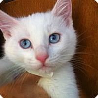 Adopt A Pet :: Vixen - Santa Monica, CA