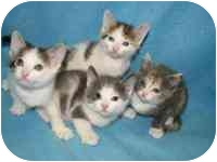 Siamese Kitten for adoption in Germantown, Maryland - WHEAT, BARLEY, HAY, ALFALFA!!